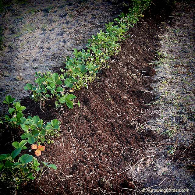 Planting Everbearing Strawberries