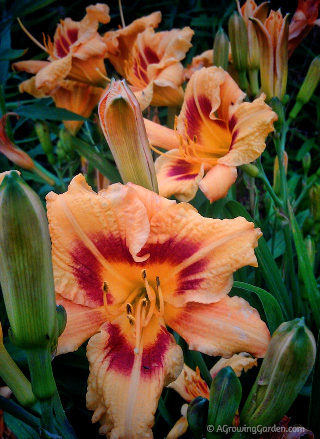 Blackeyed Stella Daylily Photo