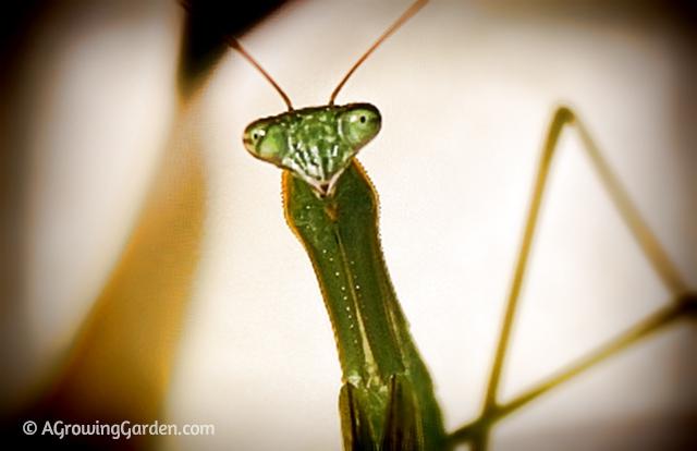 Praying Mantis A Gardener S Best Friend