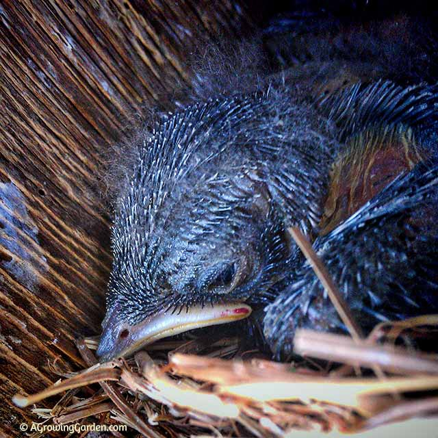 what do baby bluebirds look like