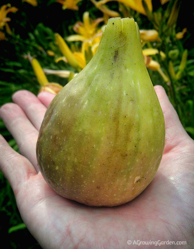 superb growing figs Part - 1: superb growing figs design inspirations