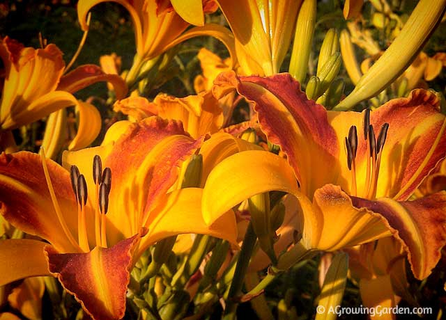 How to grow daylilies - Frans Hals
