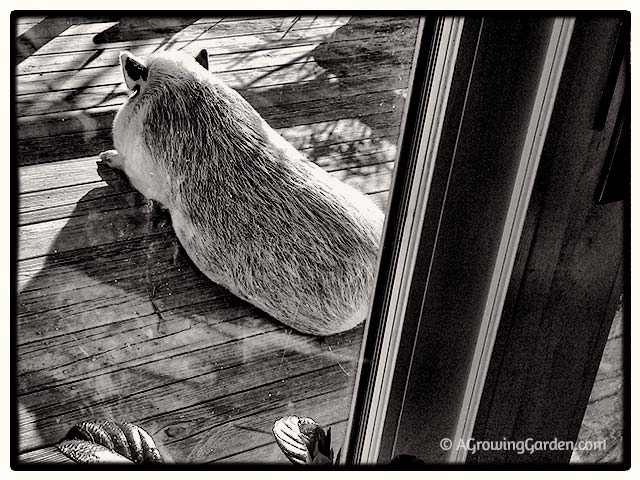 Potbellied Pig Sleeping on Deck