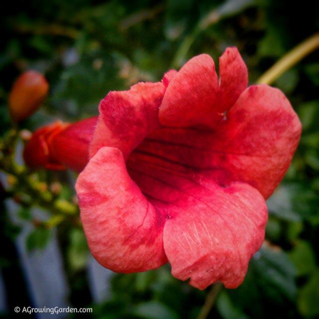 Hummingbird Vine Flower