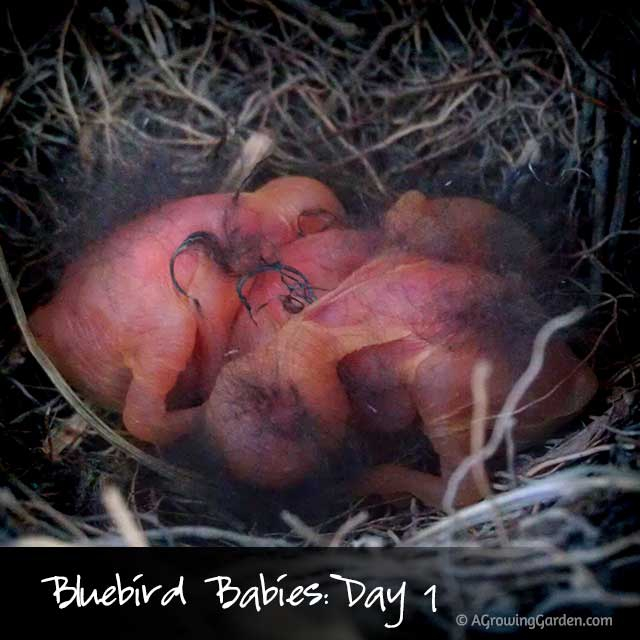 Bluebird Babies - 1 Day Old
