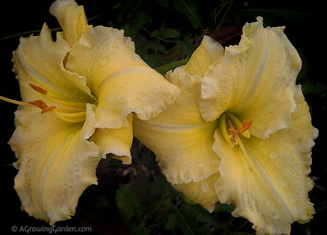 Hemerocallis Daylily - Yellow Reblooming