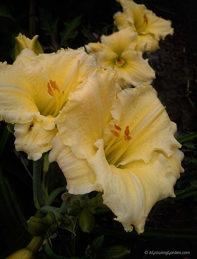 Reblooming Yellow Daylily