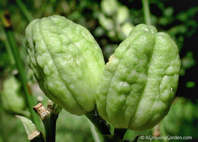 Im Daylily Seed Pod