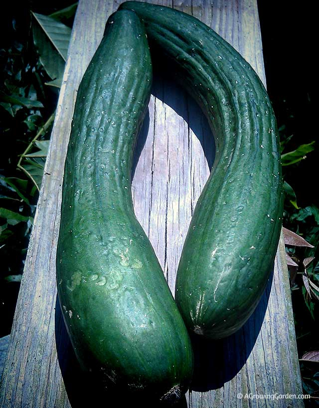 Growing English Cucumbers