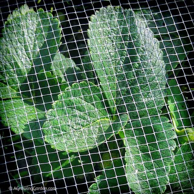 Strawberry Netting