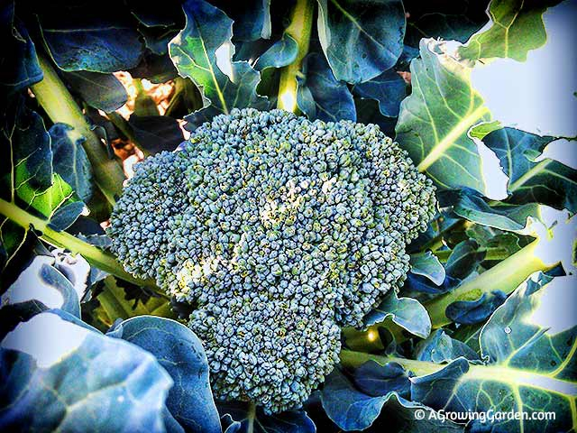 Growing Broccoli in the Fall Garden