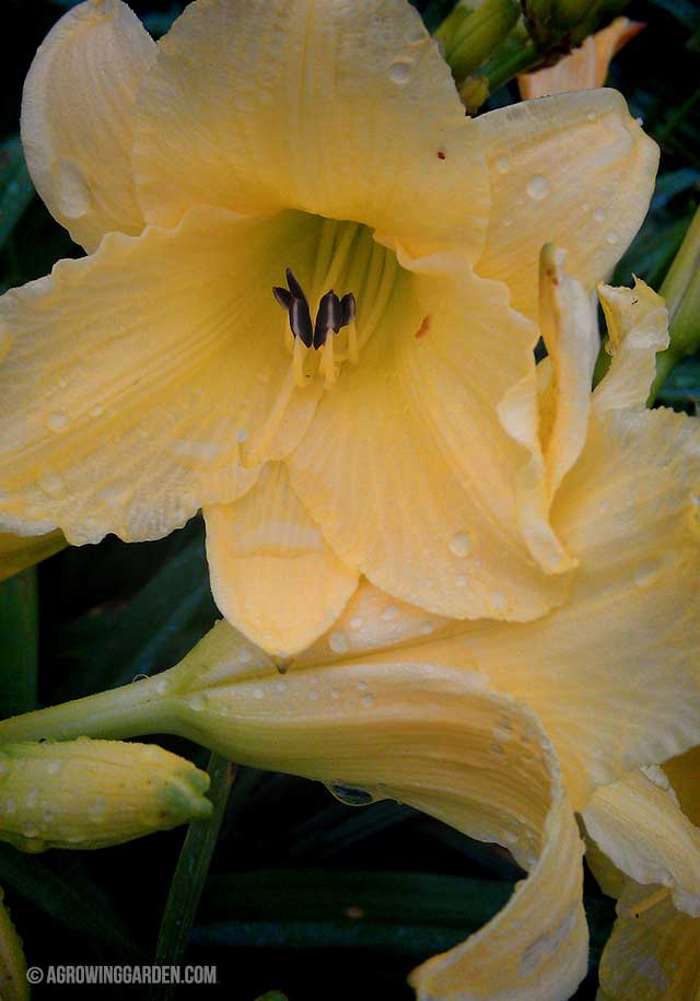 How to Grow Hyperion Daylilies