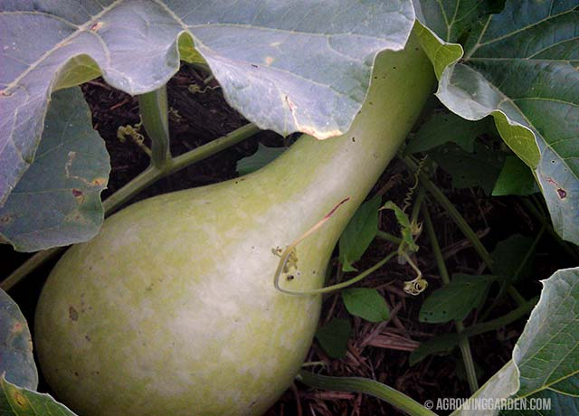 Growing Giant African Bottle Gourds