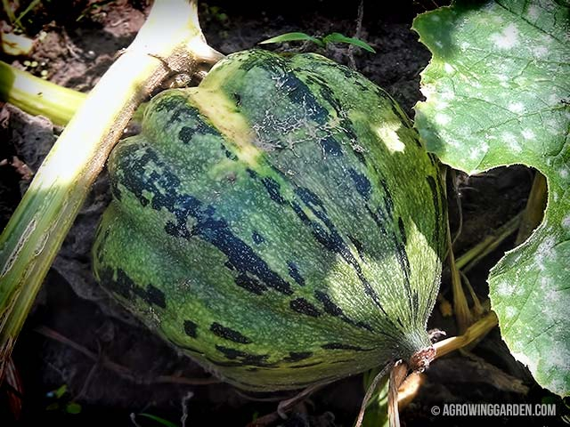 Unknown Squash Cross