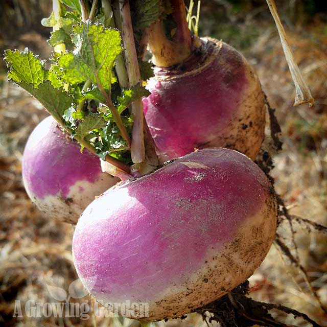Turnips Harvested in Winter