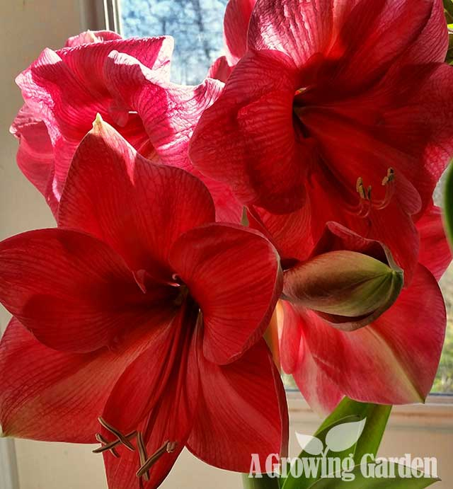 Amaryllis in Bloom