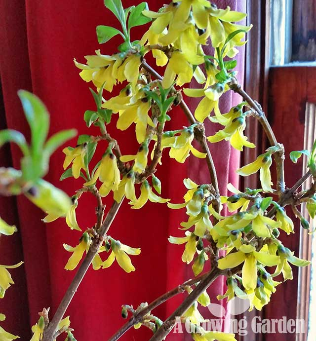 Forcing Forsythia