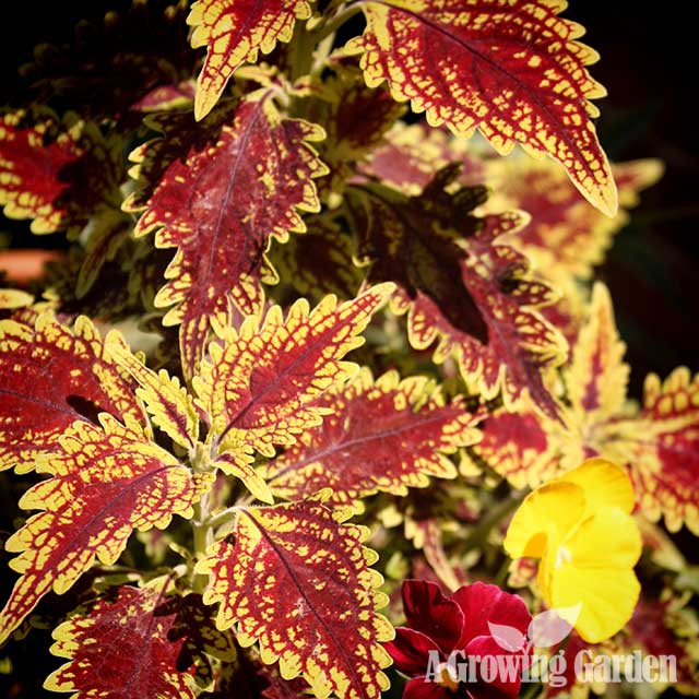 2015 Year of the Coleus