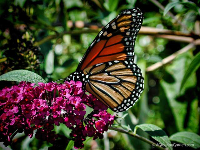 Planting to Attract Butterflies to Your Garden and Yard