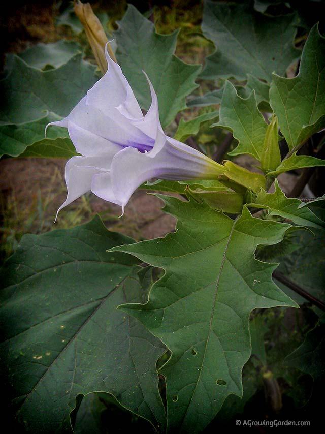 Angels trumpet flower or devils trumpet flower angels trumpet vs devils trumpet flower mightylinksfo