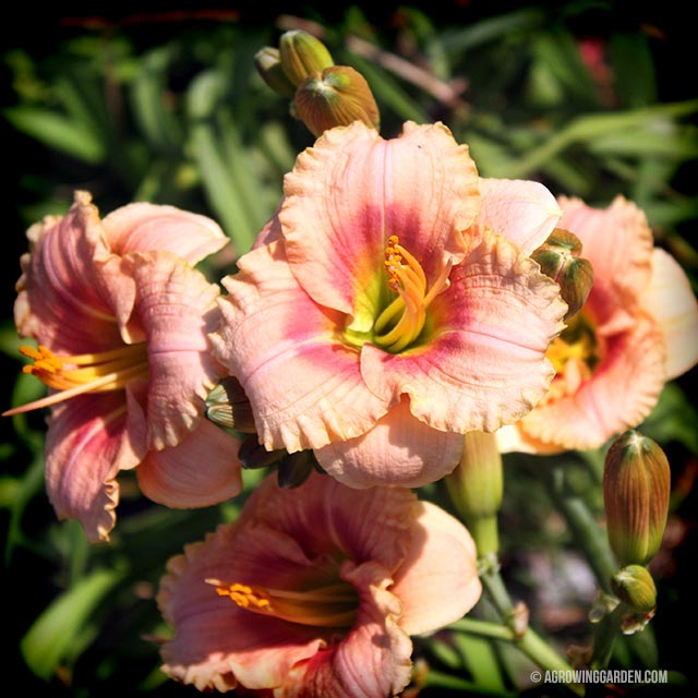 Siloam French Doll Daylily