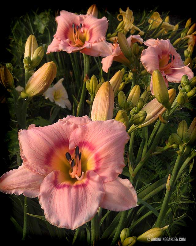 Pink Daylilies - Siloam French Doll Hemerocallis