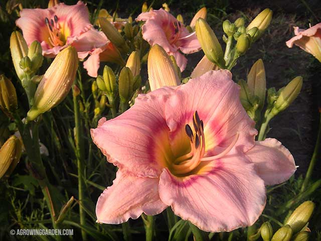 Siloam French Doll Daylilies
