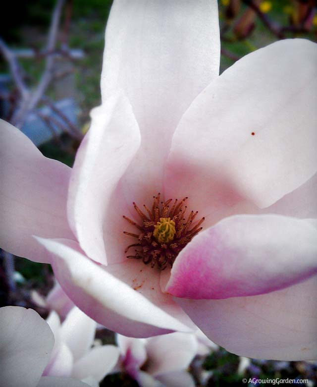 Recommend look asian magnolia flower photo 706 are also