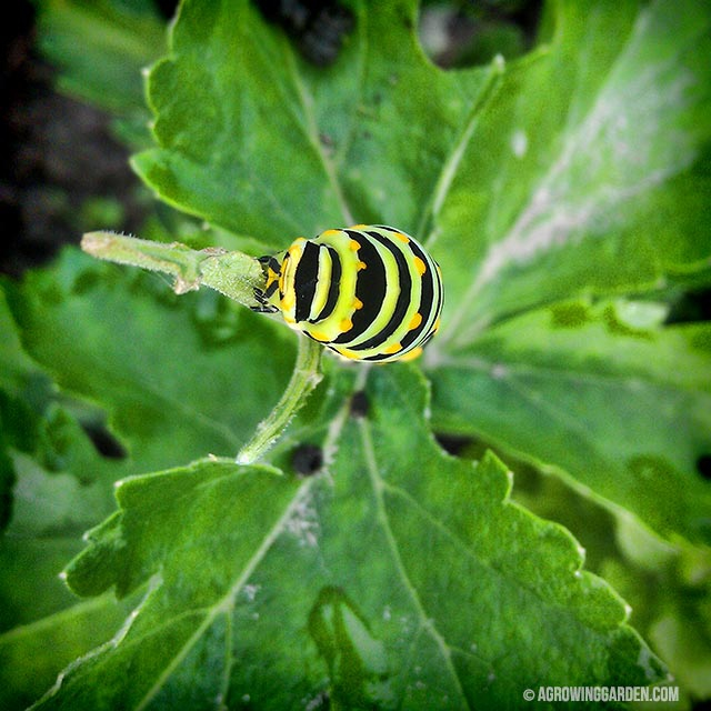 Swallowtail Caterpillar on Parsnips