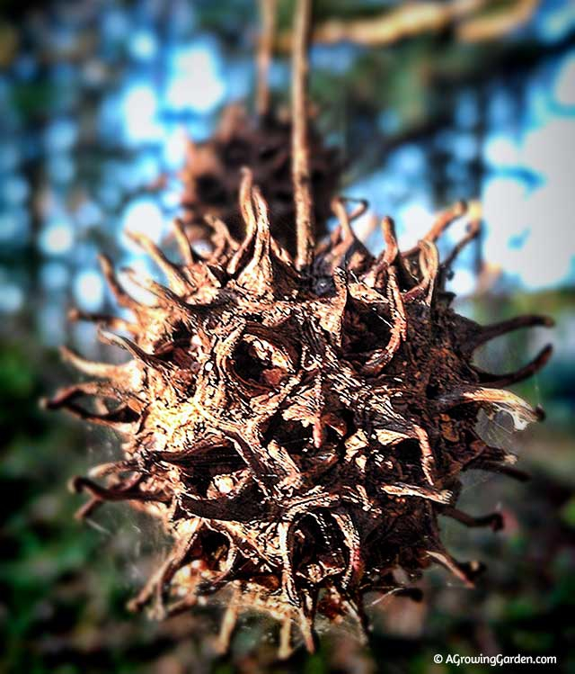 Sweet Gum Balls, Witches Balls, Witches Burrs