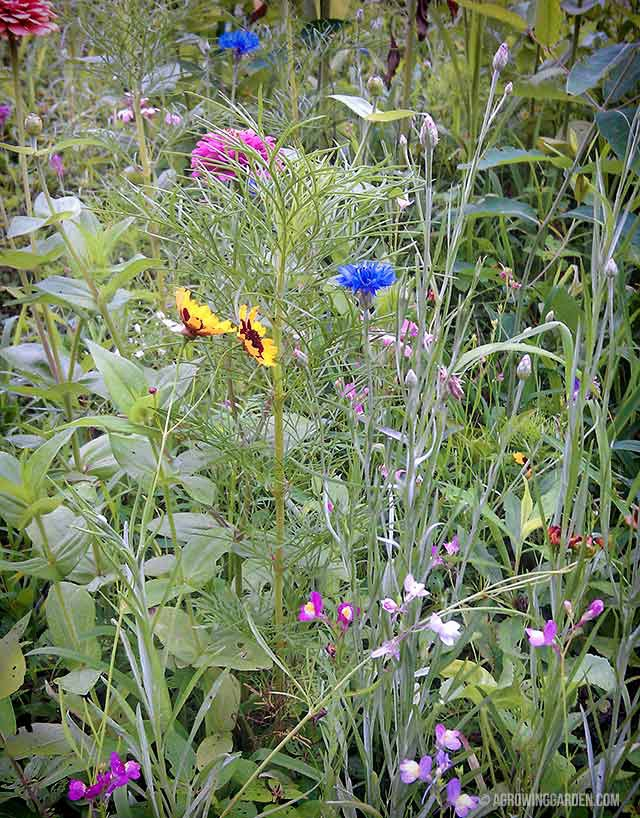 Growing Wildflowers from Seed