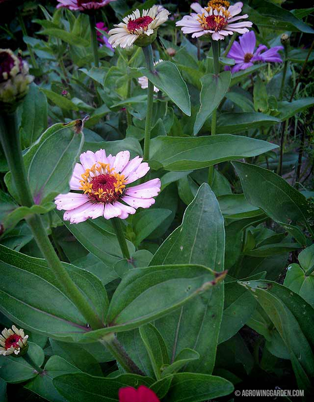 Growing Zinnias from Seed in a Wildflower Bed
