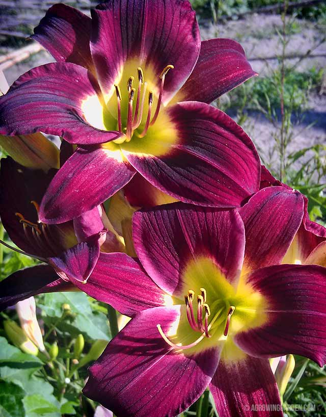 Red Daylily Flowers - Woodside Ruby