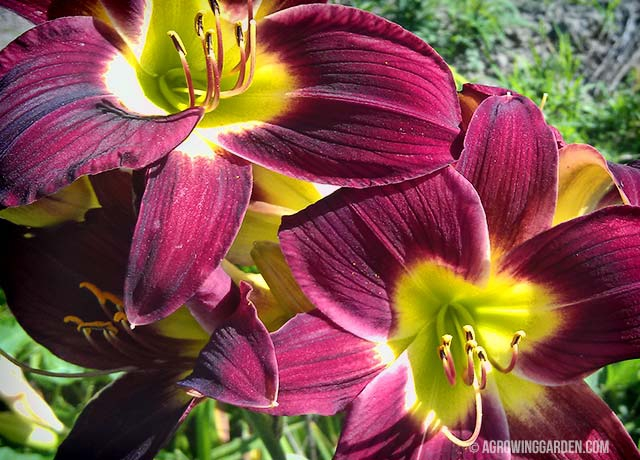 Deep Red Daylily Flowers - Woodside Ruby