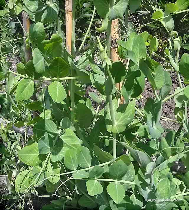 Growing Garden Peas: What's Growing Early June