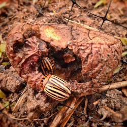 Colorado Potato Beetles in April - Say It Isn't So!