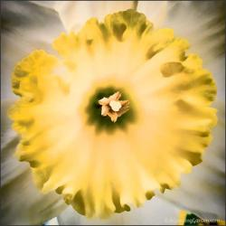 Growing Daffodils - My Favorite Spring Bulb!