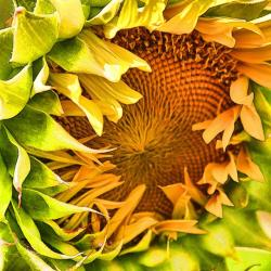 Sunflowers - My Favorite Flower