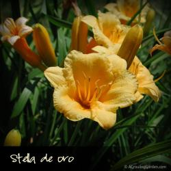 Stella de Oro Daylily vs Happy Returns Daylily