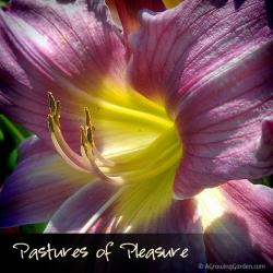 Pastures of Pleasure Daylily