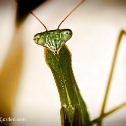 Praying Mantis - A Gardener's Best Friend