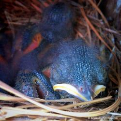 Bluebird Babies - 7 Days Old