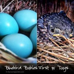 Baby Bluebirds - The First 15 Days in Pictures