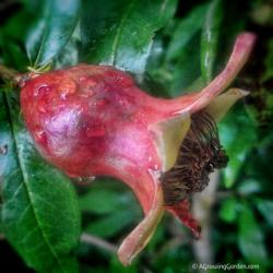 Growing Pomegranates