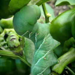 Help! A Tobacco Hornworm Has Eaten My Peppers!