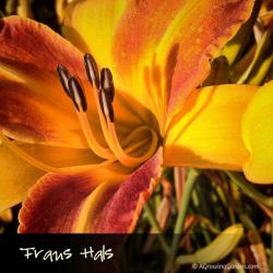 Frans Hals Daylily