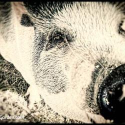 Our Neighbor, the Potbellied Pig