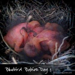 Eastern Bluebird Babies: Hatched July 31 2013 - Day 1 Video