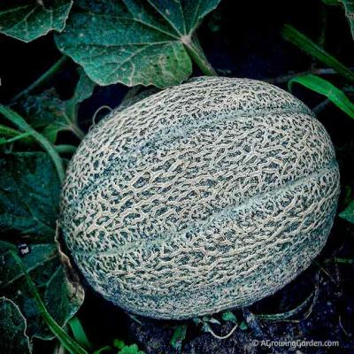 How to Tell When Cantaloupe is Ready to Harvest