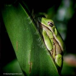 Did You Know Green Tree Frogs Quack?